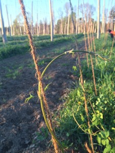 Training Hop Plants