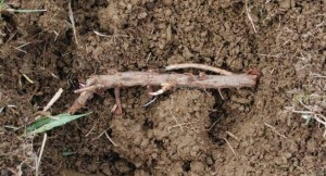 Hope Rhizome in soil