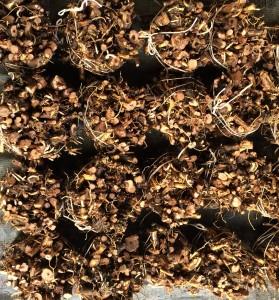 bundled hop rhizomes