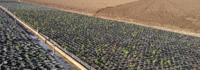 planted hop rhizomes