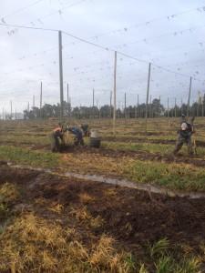 harvesting hop rhizomes