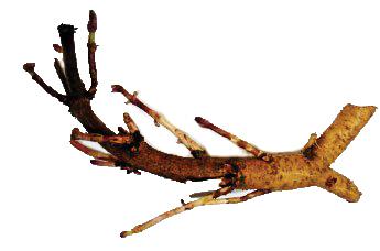 Hop Root