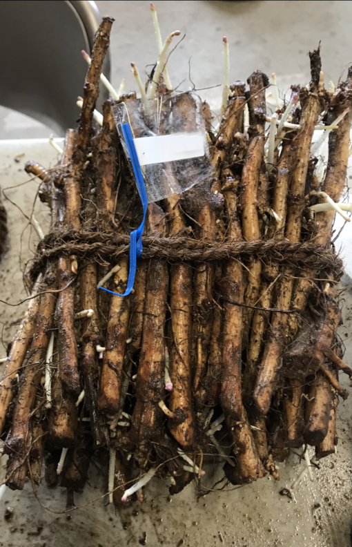 Hop Rhizome Bundle