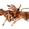 Chinook Hop Rhizome